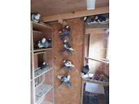 Birmingham roller pigeons stock pairs