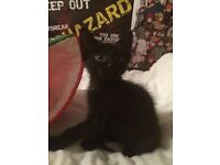 11 week kitten for sale ready to leave now