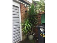 Double stemmed 8ft Yucca Plant in Pot
