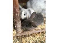Baby rabbits Doe's / female ready on the 21st of July lop cross breeds