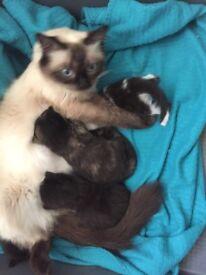 X Ragdoll kittens £50