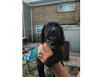 Cocker spaniel puppies ONLY 1 BOY 1 GIRL LEFT