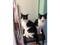 FOR REHOMING - Sibling b&w two year old loving cats
