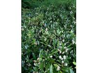 Laurel Otto Luken Evergreen Hedging Shrub Suitable For Banks Strong Low Growing 30cm To 40cm Tall