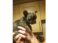 Brindle french bulldog for sale