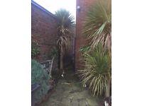 4 HUGE PALM TREES