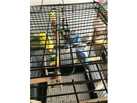 4 beautiful hand tame budgies with a cage, foods, toys and etc ready to leave.
