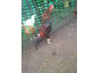Shamo rooster for sale