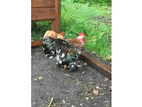 Pair of Pekin Bantams