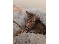 Rag doll cross kitten for rehone. Beautifil markings . £2₩
