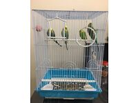 4 Budgies + Cage + Accessories