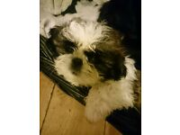 Shih Tzu boy puppy