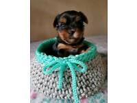 Mini Yorkshire Terrier puppy boy for sale