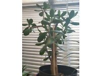 3 Large Jade Plants - Houseplants - Healthy and beautiful