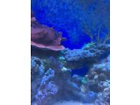 Acropora sps coral