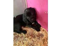 Black Springador pups Labrador x springer spaniel