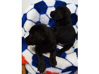 Labrador Retriver £700 pedigree