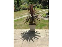 Large brown cordyline in pot