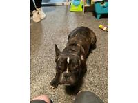 French Bulldog (KC Registered)