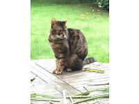 Thin Lost cat looks hungry in Headington