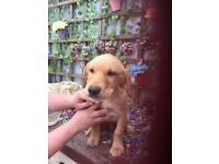 Golden Labrador pups for sale