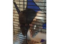 2 gentle, affectionate 5 month old male rats with cage and accessories. Cage less than 3 months old