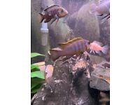 Mbuna Malawi Cichlids Tropical fish for sale 100% own tank bred London
