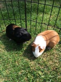 2 male guinea pigs for sale plus indoor and outdoor cages.
