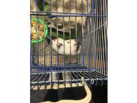 Baby hamster and cage for sale