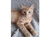 Ginger Kittens Ready now