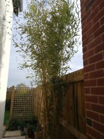 Tall Bamboo plants for sale