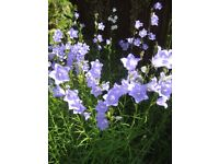 PERENNIAL CAMPANULA (BELL FLOWER) - WHITE OR BLUE POTTED