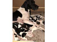 Stunning KC registered English Pointer Puppies
