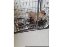 Kc border terrier puppies
