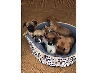 Stunning miniature dachshund x jack Russel puppies