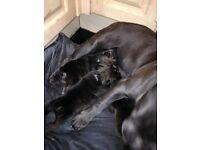 Staff X British bulldog puppie