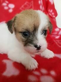 Mini long coat jack Russell x shih tzu puppies