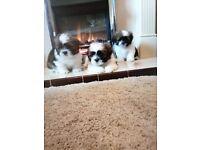 Male Minature Shih tzu puppys