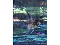 marble koi angelfish
