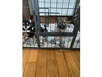 Male Chorkie Puppies