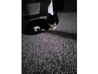 Kitten for sale.