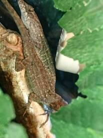 Lizards for sale with setup