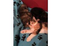 Gorgeous British shorthair mix kittens