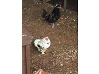 2 lovely bantam roosters