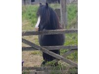 Beautiful kind hearted mare for sale