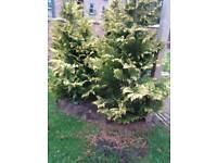 6 garden trees for sale