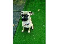 3/4 Pug Female 5 months old