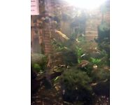 Rare Endler Guppies and Malaysian Trumpet snails