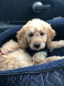 Beautiful 10 week old Goldendoodle puppy