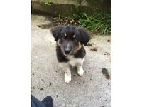 Border collie puppy for good home